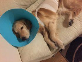 犬の子宮蓄膿症